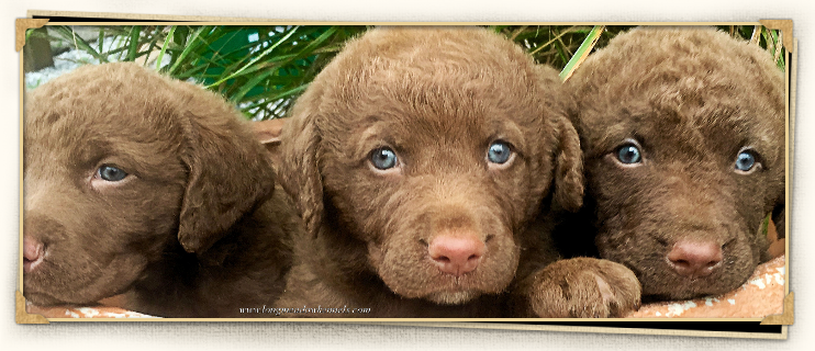 Chesapeake Bay Retrievers, Dog Breeders, | LongMeadow